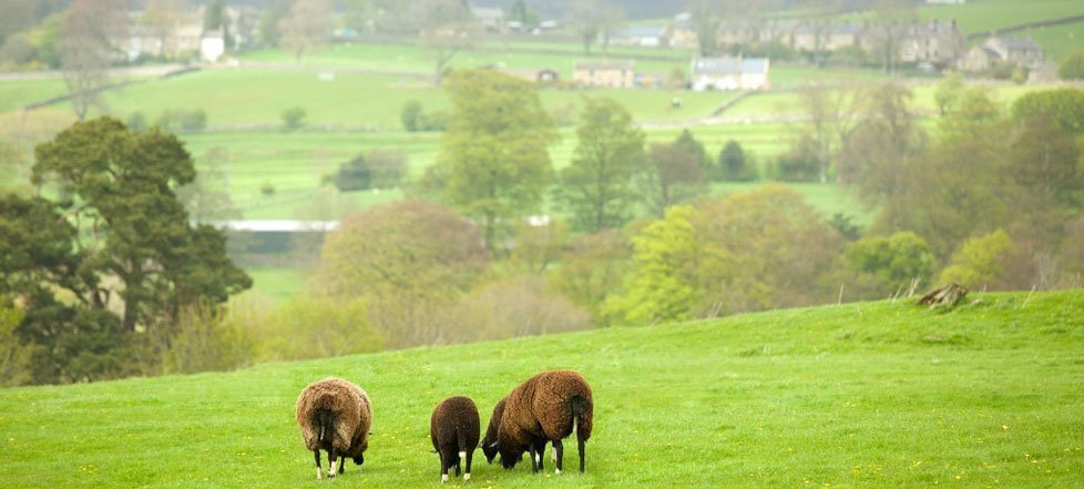 Sheep graze in the rolling countryside near The Rose And Crown